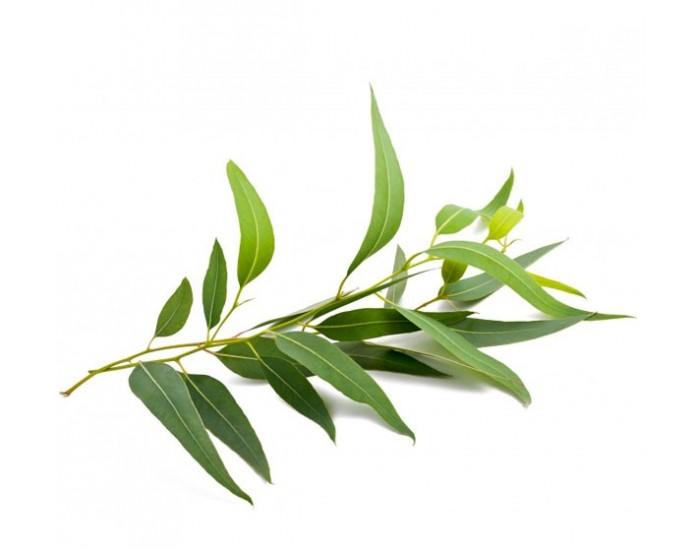 Brume eucalyptus pour hammam